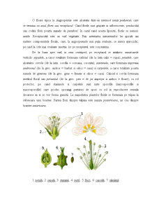 Floarea - Morfologie și Anatomie - Pagina 4