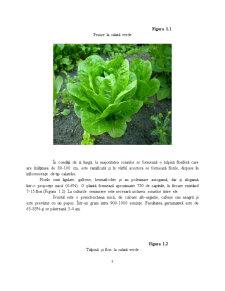 Caracterizarea Tehnologica, Standarde de Comercializare si Conditiile de Valorificare la Salata Verde (Lactuca Sativa L) - Pagina 3