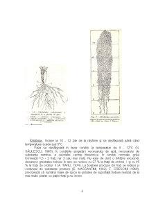 Particularitati Biologice si Morfologice - Grau, Porumb, Soia - Pagina 4