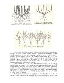 Particularitati Biologice si Morfologice - Grau, Porumb, Soia - Pagina 5
