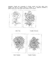 Rossa și Anthurium - Pagina 4
