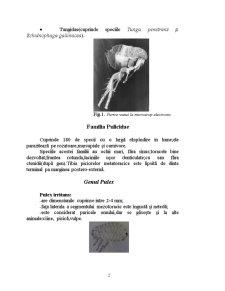 Tratamentul in Infestatiile cu Purici si Capuse la Carnivore - Pagina 2