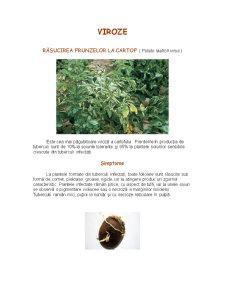 Cultura Cartofului - Pagina 4
