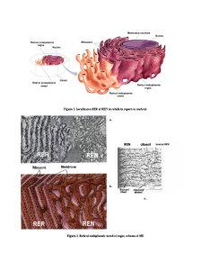 Organite Celulare - Pagina 3