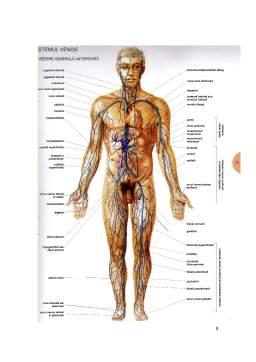 Curs - Cursuri Anatomie