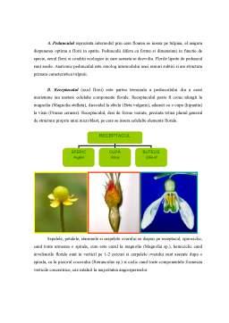 Referat - Floarea - Morfologie și Anatomie