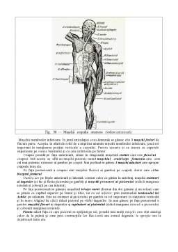 Curs - Sistemul Muscular