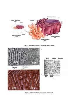 Curs - Organite Celulare